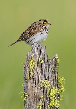 Savannah Sparrow (Passerculus sandwichensis), British Columbia, Canada  -  Alan Murphy/ BIA