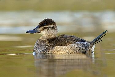 Ruddy Duck (Oxyura jamaicensis) female, British Columbia, Canada  -  Alan Murphy/ BIA