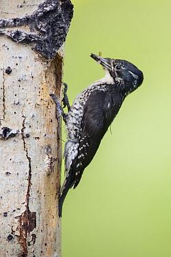American Three-toed Woodpecker (Picoides dorsalis) female feeding on insect, British Columbia, Canada  -  Alan Murphy/ BIA