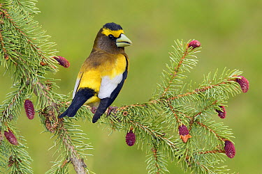 Evening Grosbeak (Coccothraustes vespertina) male, British Columbia, Canada  -  Alan Murphy/ BIA