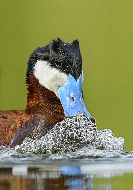 Ruddy Duck (Oxyura jamaicensis) male in courtship display, British Columbia, Canada  -  Alan Murphy/ BIA