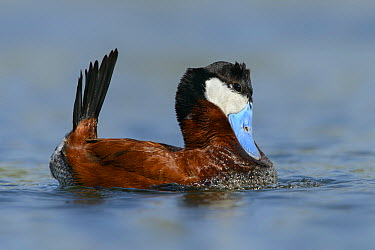 Ruddy Duck (Oxyura jamaicensis) male in courtship display, British Columbia, Canada  -  Alan Murphy/ BIA