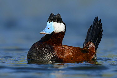 Ruddy Duck (Oxyura jamaicensis) male in defensive posture, British Columbia, Canada  -  Alan Murphy/ BIA