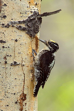 American Three-toed Woodpecker (Picoides dorsalis) male, British Columbia, Canada  -  Alan Murphy/ BIA