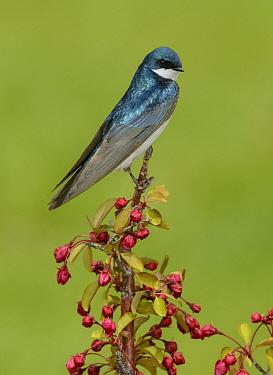 Tree Swallow (Tachycineta bicolor) male, British Columbia, Canada  -  Alan Murphy/ BIA