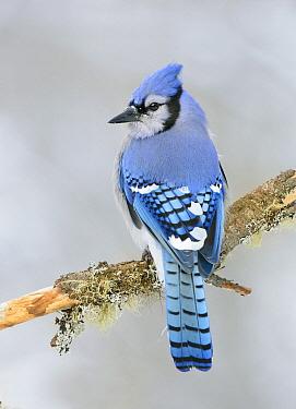 Blue Jay (Cyanocitta cristata), Ontario, Canada  -  Alan Murphy/ BIA