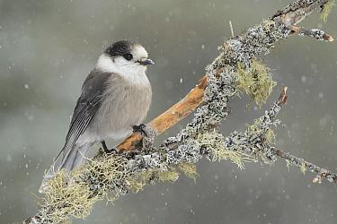 Canada Jay (Perisoreus canadensis) in light snowfall, Ontario, Canada  -  Alan Murphy/ BIA