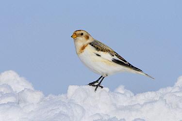 Snow Bunting (Plectrophenax nivalis) on snow, Ontario, Canada  -  Alan Murphy/ BIA