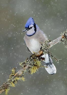 Blue Jay (Cyanocitta cristata) during snowfall, Ontario, Canada  -  Alan Murphy/ BIA