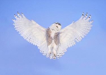Snowy Owl (Nyctea scandiaca) male flying, Ontario, Canada  -  Alan Murphy/ BIA