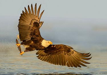 Bald Eagle (Haliaeetus leucocephalus) flying with fish prey, Alaska  -  Alan Murphy/ BIA