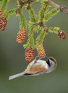 Boreal Chickadee (Poecile hudsonicus) feeding on pine cone seeds, Alaska  -  Alan Murphy/ BIA