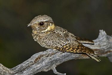 Buff-collared Nightjar (Caprimulgus ridgwayi), Arizona  -  Alan Murphy/ BIA