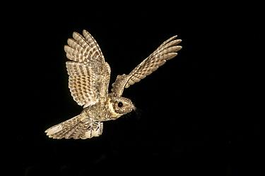 Buff-collared Nightjar (Caprimulgus ridgwayi) flying at night, Arizona  -  Alan Murphy/ BIA
