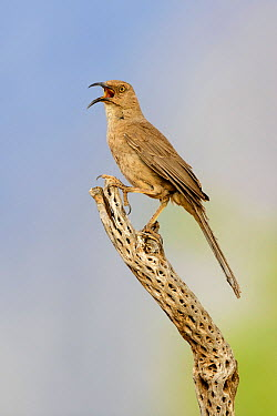 Curve-billed Thrasher (Toxostoma curvirostre) calling, Arizona  -  Alan Murphy/ BIA