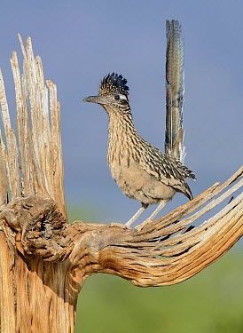 Greater Roadrunner (Geococcyx californianus), Arizona  -  Alan Murphy/ BIA