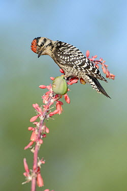 Ladder-backed Woodpecker (Picoides scalaris), Arizona  -  Alan Murphy/ BIA