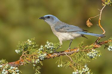 Mexican Jay (Aphelocoma wollweberi), Arizona  -  Alan Murphy/ BIA