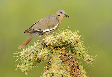 White-winged Dove (Zenaida asiatica), Arizona  -  Alan Murphy/ BIA
