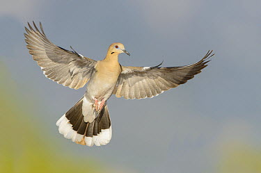 White-winged Dove (Zenaida asiatica) flying, Arizona  -  Alan Murphy/ BIA
