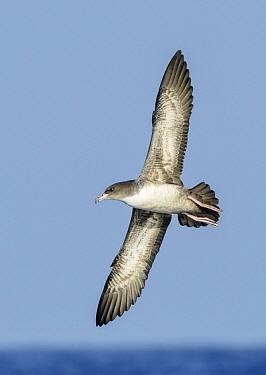 Pink-footed Shearwater (Puffinus creatopus) flying, California  -  Alan Murphy/ BIA
