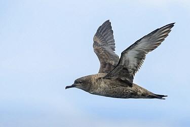Sooty Shearwater (Puffinus griseus) flying, California  -  Alan Murphy/ BIA