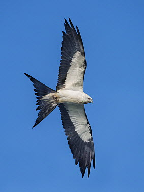 Swallow-tailed Kite (Elanoides forficatus) flying, Florida  -  Alan Murphy/ BIA
