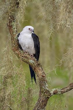 Swallow-tailed Kite (Elanoides forficatus), Florida  -  Alan Murphy/ BIA