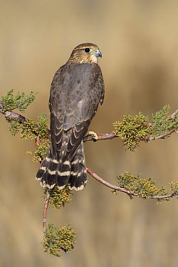 Merlin (Falco columbarius), New Mexico  -  Alan Murphy/ BIA