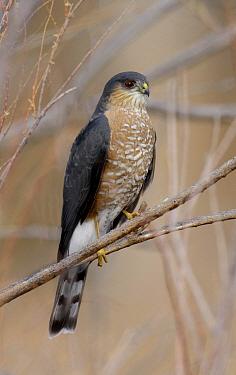 Sharp-shinned Hawk (Accipiter striatus), Texas  -  Alan Murphy/ BIA