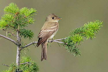 Eastern Wood-Pewee (Contopus virens) male, Texas  -  Alan Murphy/ BIA