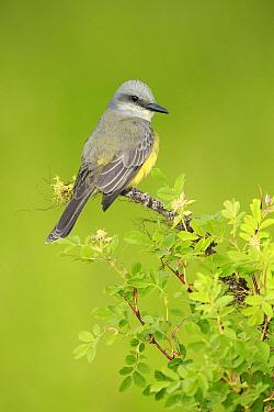 Tropical Kingbird (Tyrannus melancholicus), Texas  -  Alan Murphy/ BIA