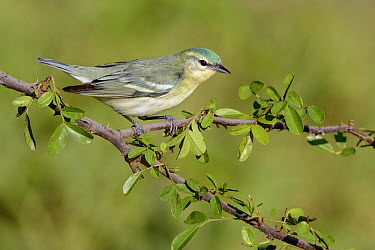 Cerulean Warbler (Setophaga cerulea) female, Texas  -  Alan Murphy/ BIA
