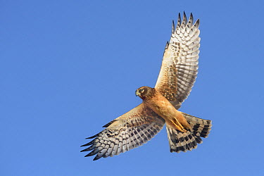 Northern Harrier (Circus cyaneus) female flying, Texas  -  Alan Murphy/ BIA
