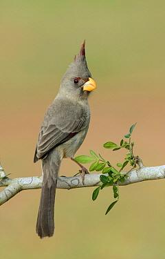 Pyrrhuloxia (Cardinalis sinuatus) female, Texas  -  Alan Murphy/ BIA