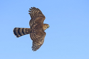 Sharp-shinned Hawk (Accipiter striatus) flying, Texas  -  Alan Murphy/ BIA