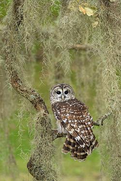Barred Owl (Strix varia), Texas  -  Alan Murphy/ BIA