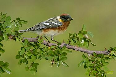 Bay-breasted Warbler (Setophaga castanea) male, Texas  -  Alan Murphy/ BIA