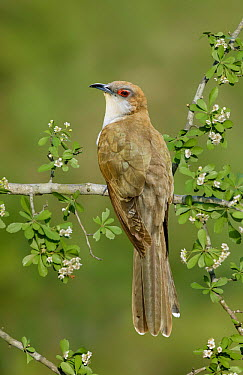 Black-billed Cuckoo (Coccyzus erythropthalmus) male, Texas  -  Alan Murphy/ BIA