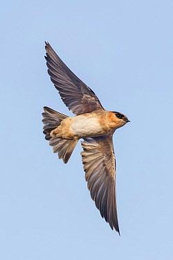 Cave Swallow (Hirundo fulva) male flying, Texas  -  Alan Murphy/ BIA