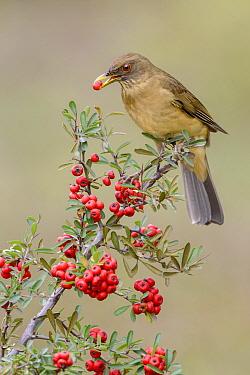Clay-colored Thrush (Turdus grayi) feeding on berries, Texas  -  Alan Murphy/ BIA