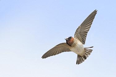 American Cliff Swallow (Petrochelidon pyrrhonota) flying, Texas  -  Alan Murphy/ BIA