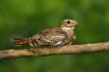 Common Nighthawk (Chordeiles minor), Texas  -  Alan Murphy/ BIA