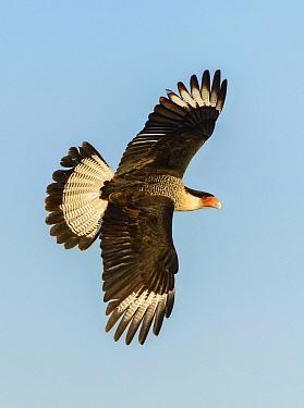 Northern Caracara (Caracara cheriway) flying, Texas  -  Alan Murphy/ BIA
