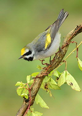Golden-winged Warbler (Vermivora chrysoptera) male, Texas  -  Alan Murphy/ BIA