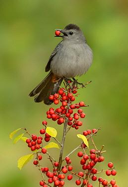 Gray Catbird (Dumetella carolinensis) male feeding on berries, Texas  -  Alan Murphy/ BIA