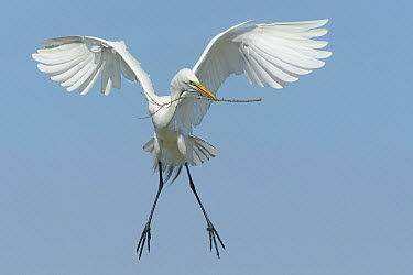 Great Egret (Ardea alba) carrying nesting material, Texas  -  Alan Murphy/ BIA