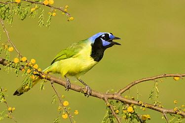 Green Jay (Cyanocorax yncas) calling, Texas  -  Alan Murphy/ BIA