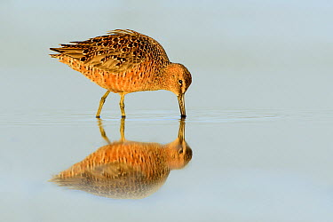 Long-billed Dowitcher (Limnodromus scolopaceus) foraging, Texas  -  Alan Murphy/ BIA