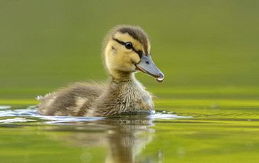 Mallard (Anas platyrhynchos) duckling, Texas  -  Alan Murphy/ BIA